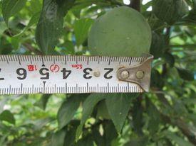 秋姫収穫前 秋姫3.5センチ