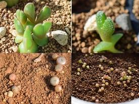 メセン系の種まき 丸三ヶ月、順調です