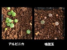 リトープスの実生(秋蒔き) 10/26 53日目