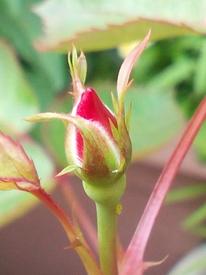 どんなお花が咲くかお楽しみに(*^^*) 5月16日、蕾、取っていません!