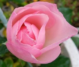 どんなお花が咲くかお楽しみに(*^^*) 10月12日咲きそうです😊💗