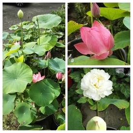 小さな極楽  蓮の咲く庭 花盛り