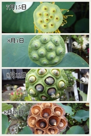 小さな極楽  蓮の咲く庭 種ができるまで