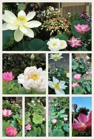 小さな極楽  蓮の咲く庭 今年の庭の様子です