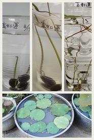 小さな極楽  蓮の咲く庭 種から育てる