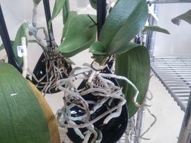 胡蝶蘭を植え込み材なしで育ててみる 2017.4.9