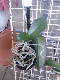 胡蝶蘭を植え込み材なしで育ててみる 2017.6.2