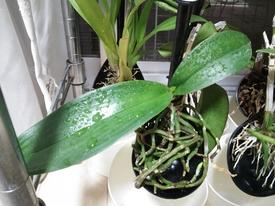 胡蝶蘭を植え込み材なしで育ててみる 2017.9.8