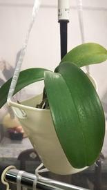 胡蝶蘭を植え込み材なしで育ててみる 2018.5.18