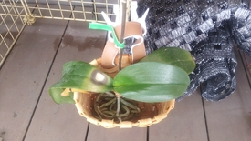胡蝶蘭を植え込み材なしで育ててみる 2016.8.17