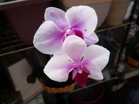 胡蝶蘭を植え込み材なしで育ててみる