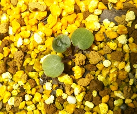 雪割草 この親株の種をまいて育てています 2017.7.11本葉が少し大きくなった