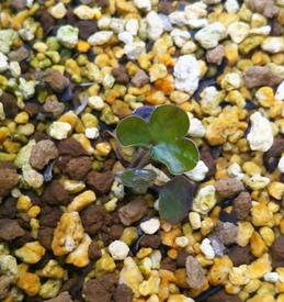 雪割草 この親株の種をまいて育てています 2018.3.13 本葉が展開