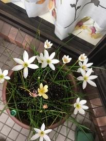 玉すだれ 一年めの花