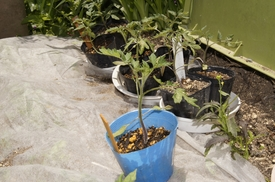 ミニトマトの種から育てる 5月19日