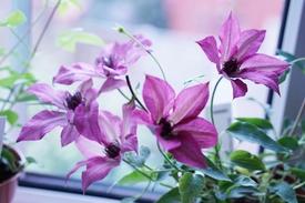 パティオ用クレマチス Giselle 5月18日、6つ開花