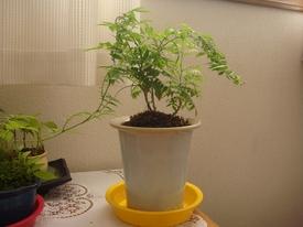 □小藤のミニ盆栽奮闘記□ □花を咲かせるまで頑張ります。