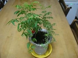 □小藤のミニ盆栽奮闘記□ ■剪定後、少元気になったの藤です。