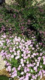ペチュニア開花中 9月9日のさくらさくら