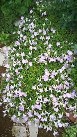 ペチュニア開花中 さくらさくらの切り戻しbefore
