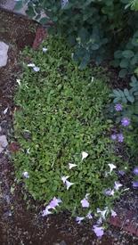 ペチュニア開花中 さくらさくらの切り戻しafter