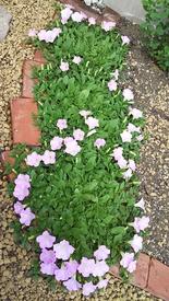 ペチュニア開花中 開花中のペチュニア