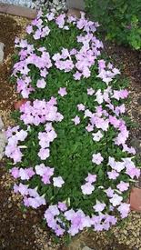 ペチュニア開花中 開花後2週間くらい