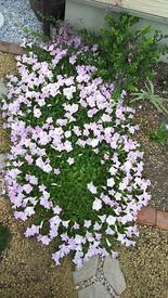 ペチュニア開花中 開花後3週間くらい