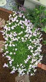 ペチュニア開花中 少し切り戻し