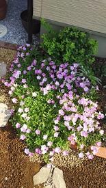 ペチュニア開花中 切り戻して2週間くらい経ちました