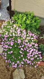 ペチュニア開花中 切り戻して3週間のさくらさくら
