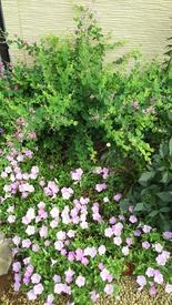 ペチュニア開花中 今日8月29日のさくらさくら