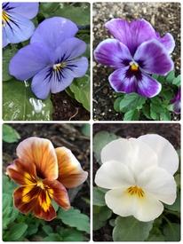 種まきパンジー・ビオラを咲かせる 全種類開花。