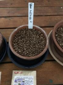 種まきパンジー・ビオラを咲かせる 種まきします