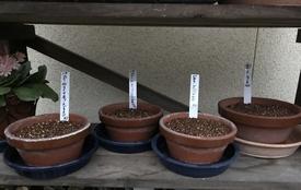 種まきパンジー・ビオラを咲かせる 発芽まで