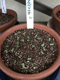 種まきパンジー・ビオラを咲かせる 発芽が揃いました