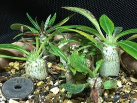 パキポディウム種まき 🍃正月10日、落葉なし。