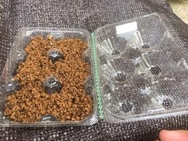 パキポディウム種まき