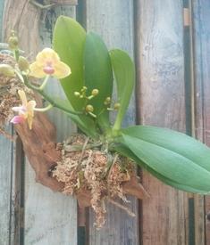 ミディ胡蝶蘭 着生栽培 流木に着生させたい!