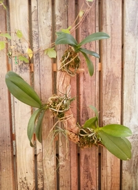 ミディ胡蝶蘭 着生栽培 揃って咲いてほしいのは飼い主の思い…