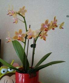 ミディ胡蝶蘭 着生栽培 買ってから1ヶ月ほど経過