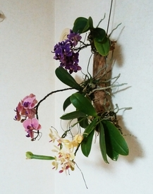 ミディ胡蝶蘭 着生栽培 横から