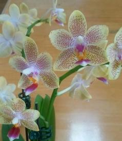 ミディ胡蝶蘭 着生栽培 花のアップ