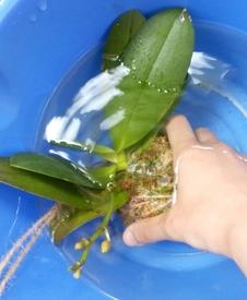 ミディ胡蝶蘭 着生栽培 水やりの光景