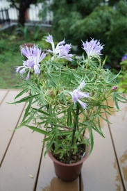 青海松葉吹詰紫細切采咲牡丹 開花のまとめ(1)