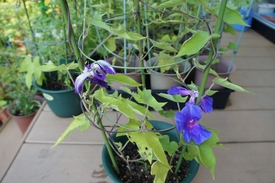 青海松葉吹詰紫細切采咲牡丹 開花のまとめ(4)