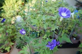 青海松葉吹詰紫細切采咲牡丹 開花のまとめ(5)