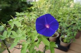 青海松葉吹詰紫細切采咲牡丹 最初の開花
