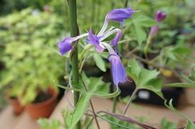 青海松葉吹詰紫細切采咲牡丹 采咲の開花