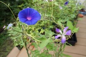 青海松葉吹詰紫細切采咲牡丹 采咲と丸咲